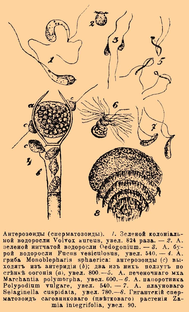 chto-takoe-spermiy-po-biologii