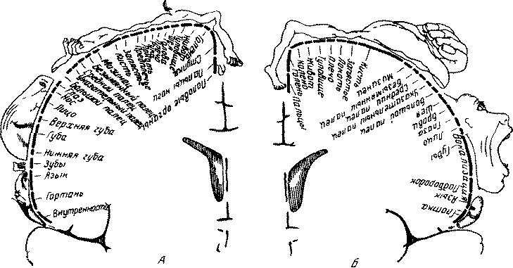 Схема проекционных зон органов